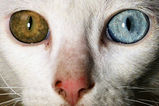 CAT WITH DIFFERENT COLOURED EYES LOOKS INTO THE CAMERA IN BANGALORE.