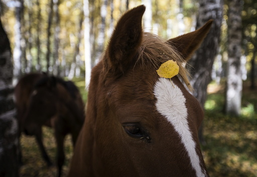 A leaf falls onto a horse's head during a sunny autumn day in a forest outside Almaty