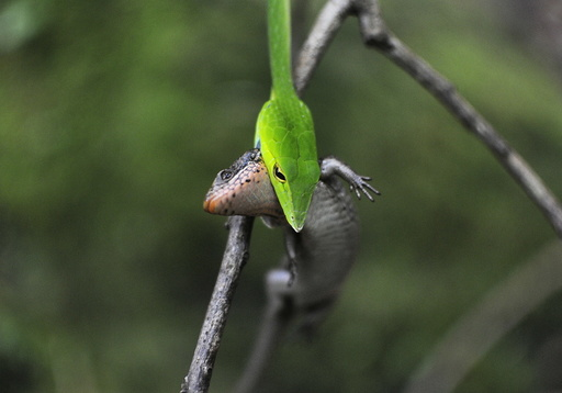 A green vine snake feeds on an Indian Forest Skink inside the Silent Valley national park in Kerala