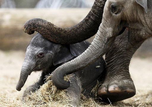 A newborn Asian elephant is helped by his mother Farina to stand up at Pairi Daiza wildlife park in Brugelette