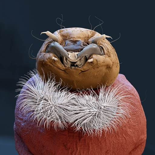 Buzzer midge larva, SEM