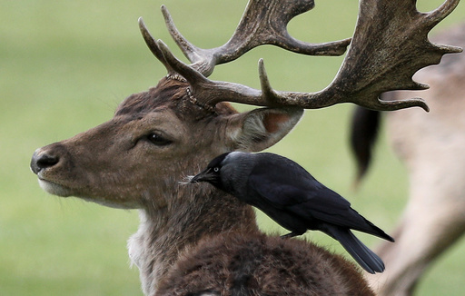 A bird sits and pulls fur from the back of a deer in Bushy Park, in London