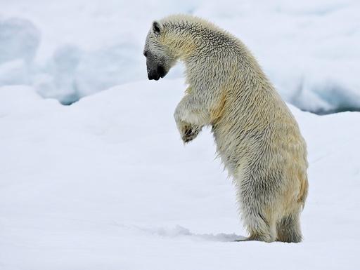 Isbjørn står på to bein for like etter å dunke hardt ned i snøen. Leter etter ringsel-unger under snøen. Svalbard. Bjørner.