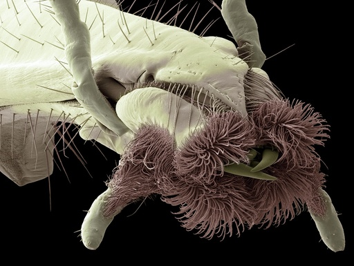 Scorpion fly mouth, SEM