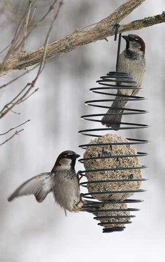Spurver på fuglemater, villfugl, vinter.