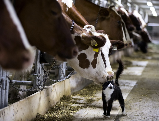 Dairy cows nuzzle a barn cat as they wait to be milked at a farm in Granby Quebec