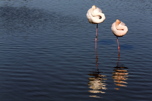 Pink flamingos are seen in the Camargue regional nature park