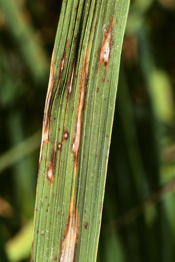 Rice infected with blast disease