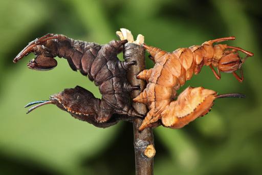 Lobster moth caterpillars
