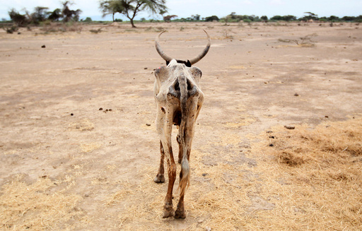 An emaciated cow walks in an open field in Gelcha village, one of the drought stricken areas of Oromia region, in Ethiopia