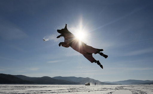 Labrador retriever jumps for a snowball while playing with its owner on the frozen surface of Yenisei River outside Krasnoyarsk