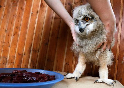A zoo employee feeds a 3-week-old Eurasian eagle owl at the Royev Ruchey zoo on the suburbs of the Siberian city of Krasnoyarsk