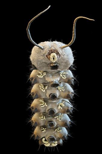Net-winged midge larva, SEM
