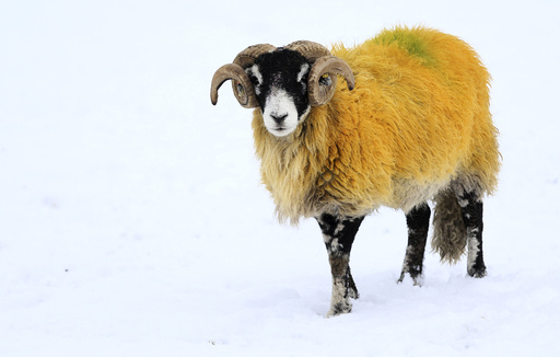 A sheep forages for food in a snow covered field in Stirlingshire Scotland