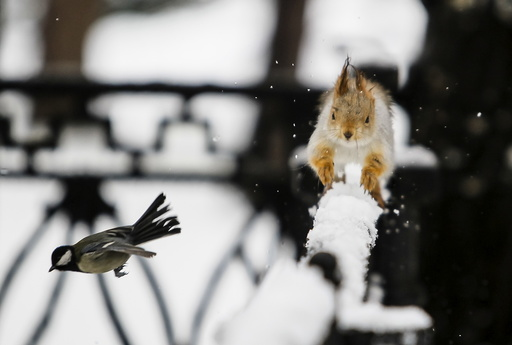 A tomtit bird flies past a squirrel running on a fence after a snowfall in a park in Almaty