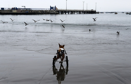 Pelusa runs after seagulls at Pescadores beach in Chorrillos