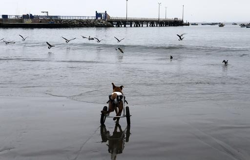 Pelusa runs after seagulls at Pescadores beach in Chorrillos