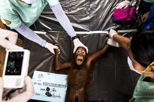 Thai veterinarian takes a picture of a 2-year-old orangutan during a health examination at Kao Pratubchang Conservation Centre in Ratchaburi