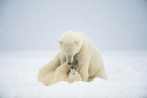 Polar bear (Ursus maritimus) sow with spring cub playing with one another on a barrier island during autumn freeze up, Bernard Spit, North Slope, Arctic coast of Alaska, September