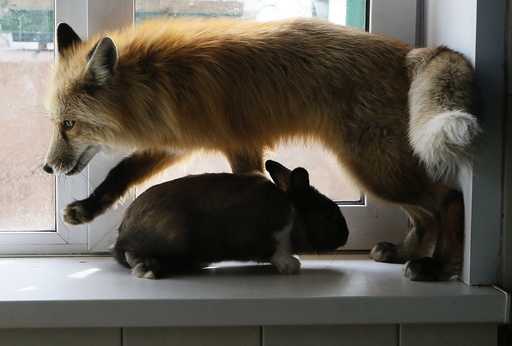 Red fox Ralf is seen next to rabbit after training session which is part of programme of taming wild animals for research and interaction with visitors at Royev Ruchey Zoo in Krasnoyarsk