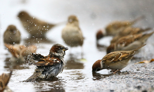 Sparrows wash themselves and drink water from a puddle in the village of Vits