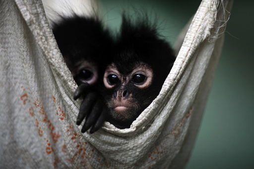 Couple of Spider Monkeys, found on bus inside bag with three dead monkeys, rest in hammock at Mexico's Federal Wildlife Conservation Center