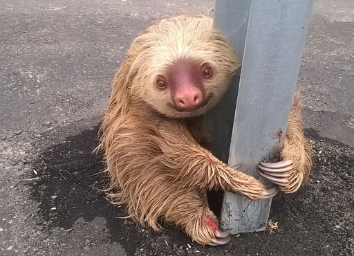 A sloth holds on to the post of a traffic barrier on a highway in this handout photo provided by Ecuador's Transit Commission in Quevedo
