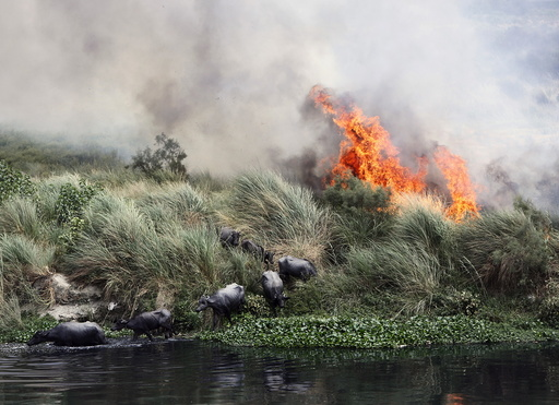 Buffalos escape a fire, which is spreading on a patch of land by the Yamuna river, on a hot summer day in New Delhi, India