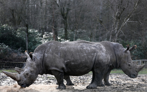 White rhinoceros Bruno and Gracie are seen in their enclosure at Thoiry zoo and wildlife park